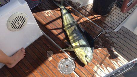 90cm Mahi Mahi unser erster grosser Fang