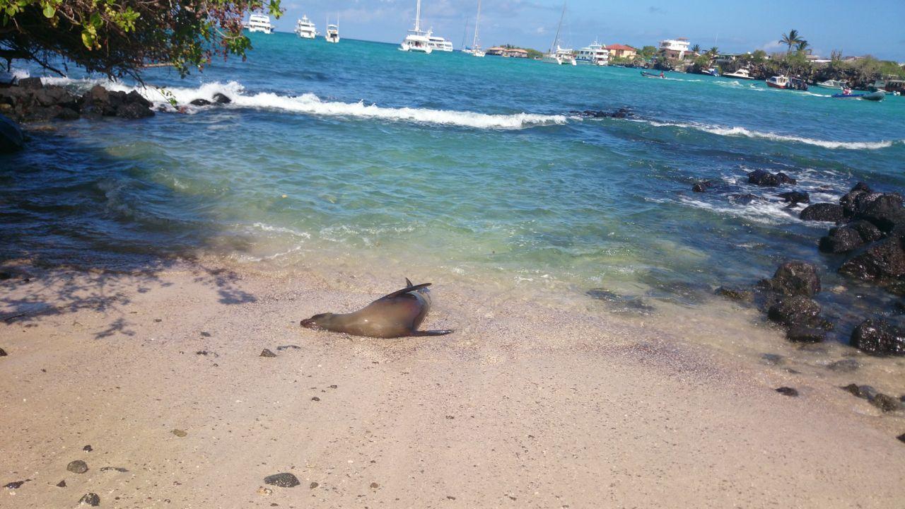 Seelöwe beim Spielen am Strand