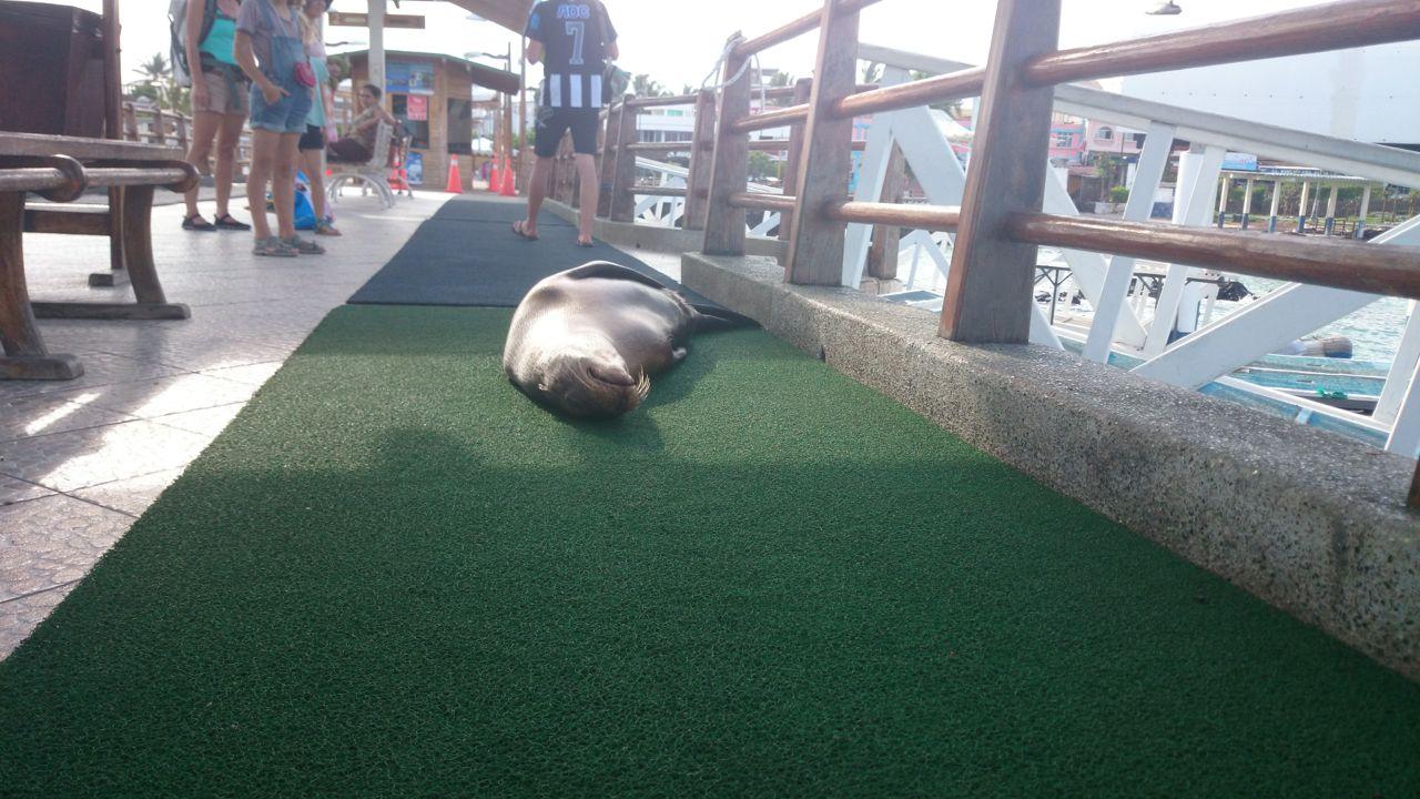 Seelöwen sind auf Galápagos allgegenwärtig.