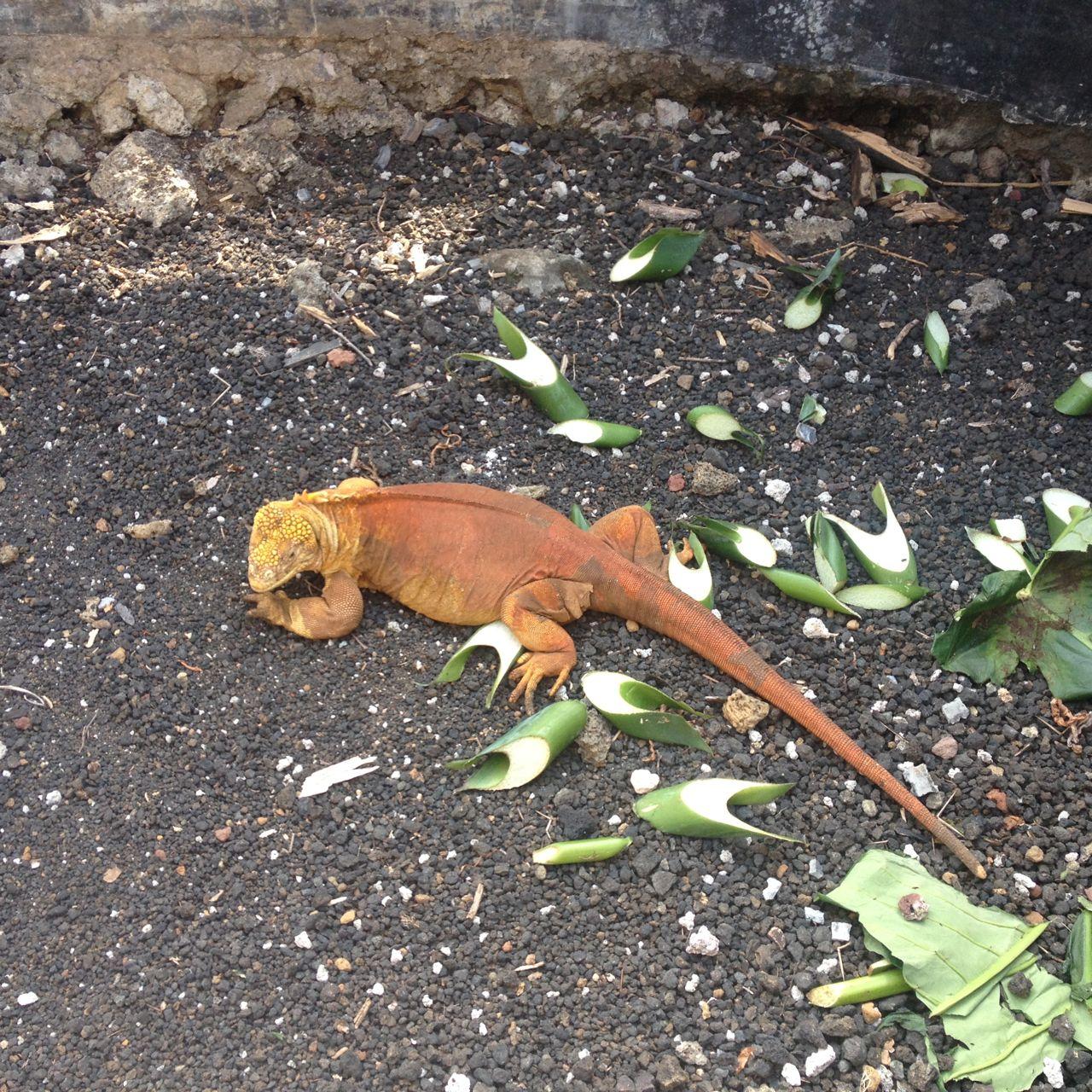 Iguana in der Darwin Aufzuchtstation auf Santa Cruz Galápagos