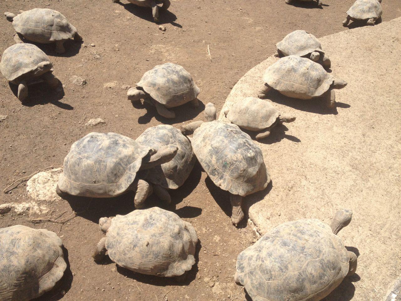 Junge Riesenschildkröten in der Aufzuchtstation auf Isabella Galapagos
