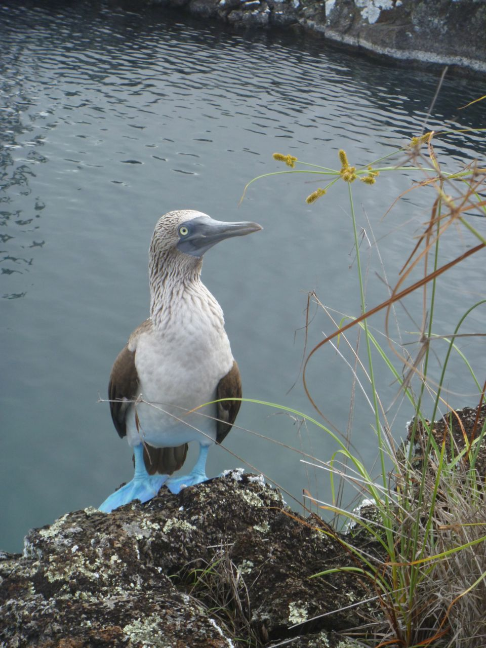 Blue Footed Booby auf Galapagos