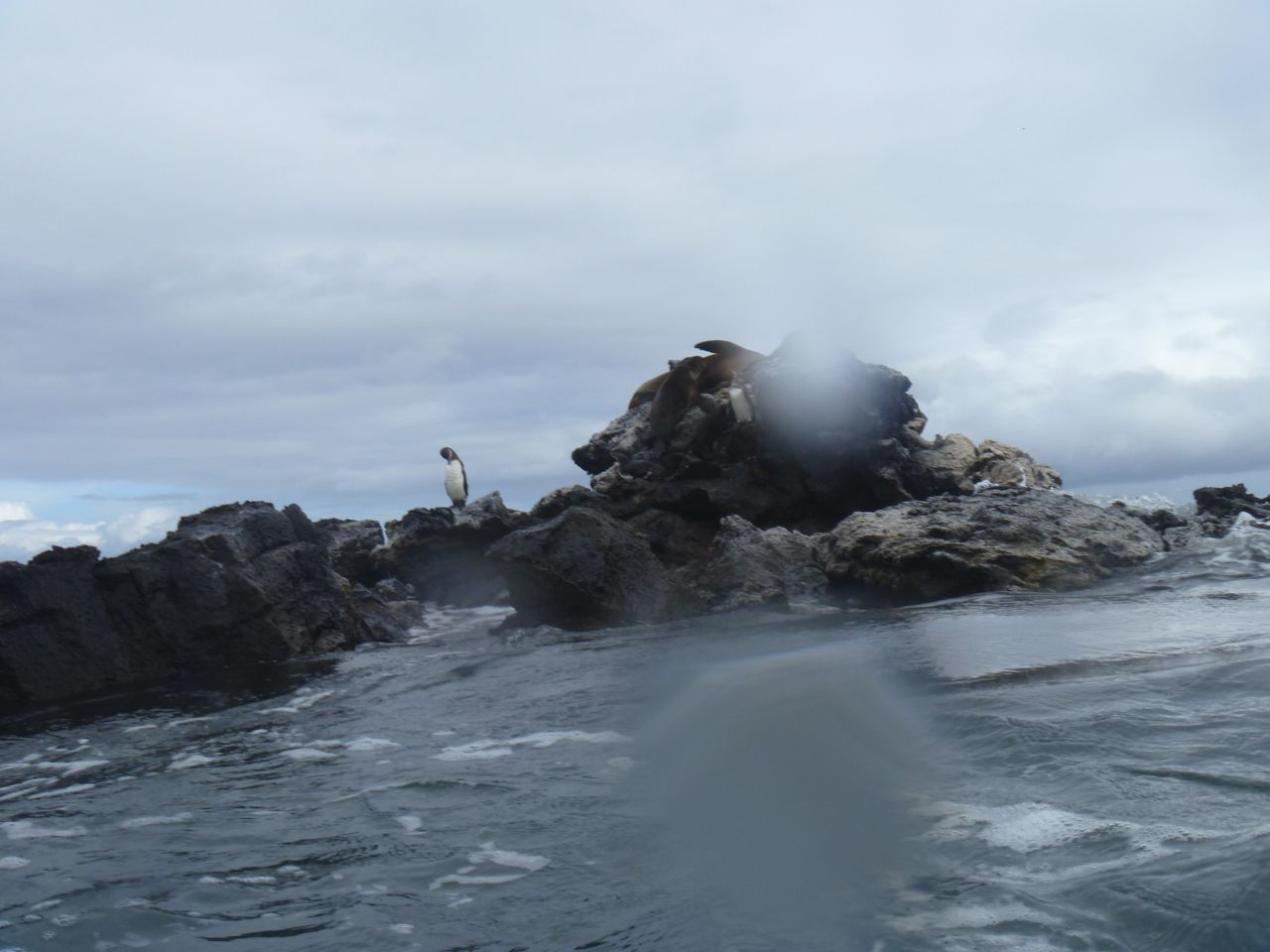 Pinguin auf einem Felsen auf Galapagos