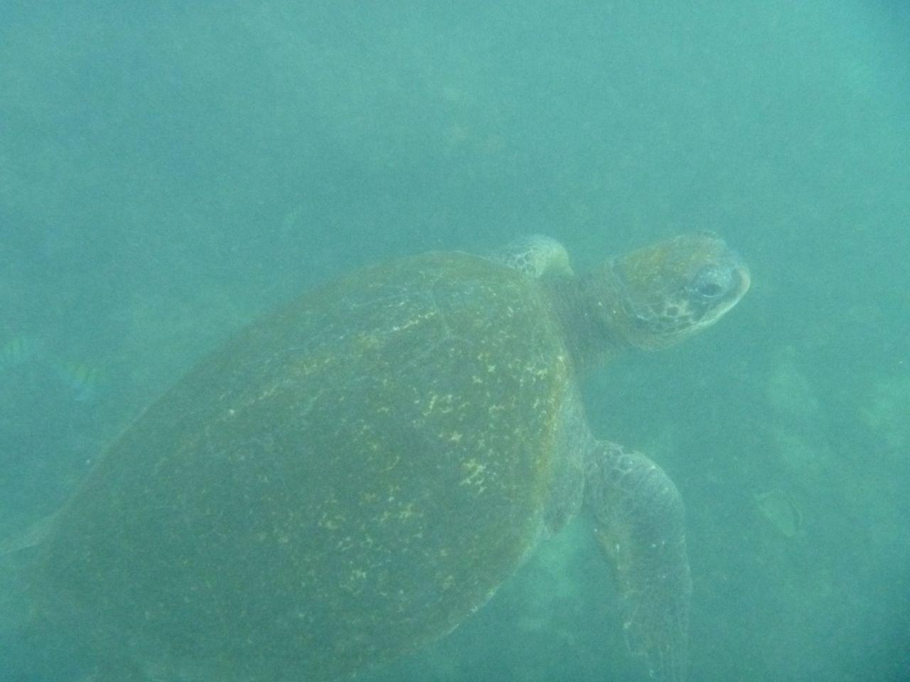 Riesige Wasserschildkröte beim schnorcheln auf Isabela
