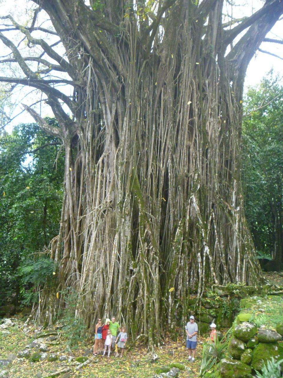 Ein riesiger 600 Jahre alter Banyan Baum dient uns hier als Kulisse