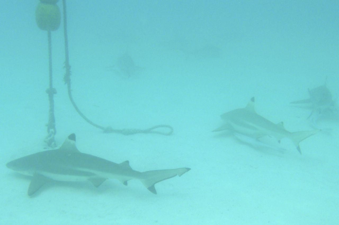 Hier lauern die Schwarzspitzhaie um uns herum