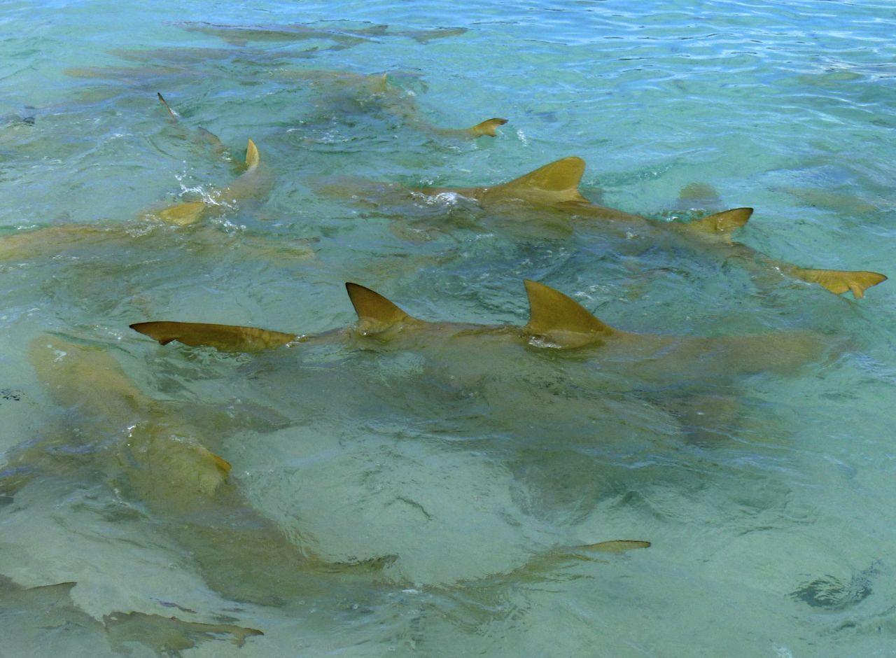 In diesem Knäuel von Zitronenhaien waren wir.