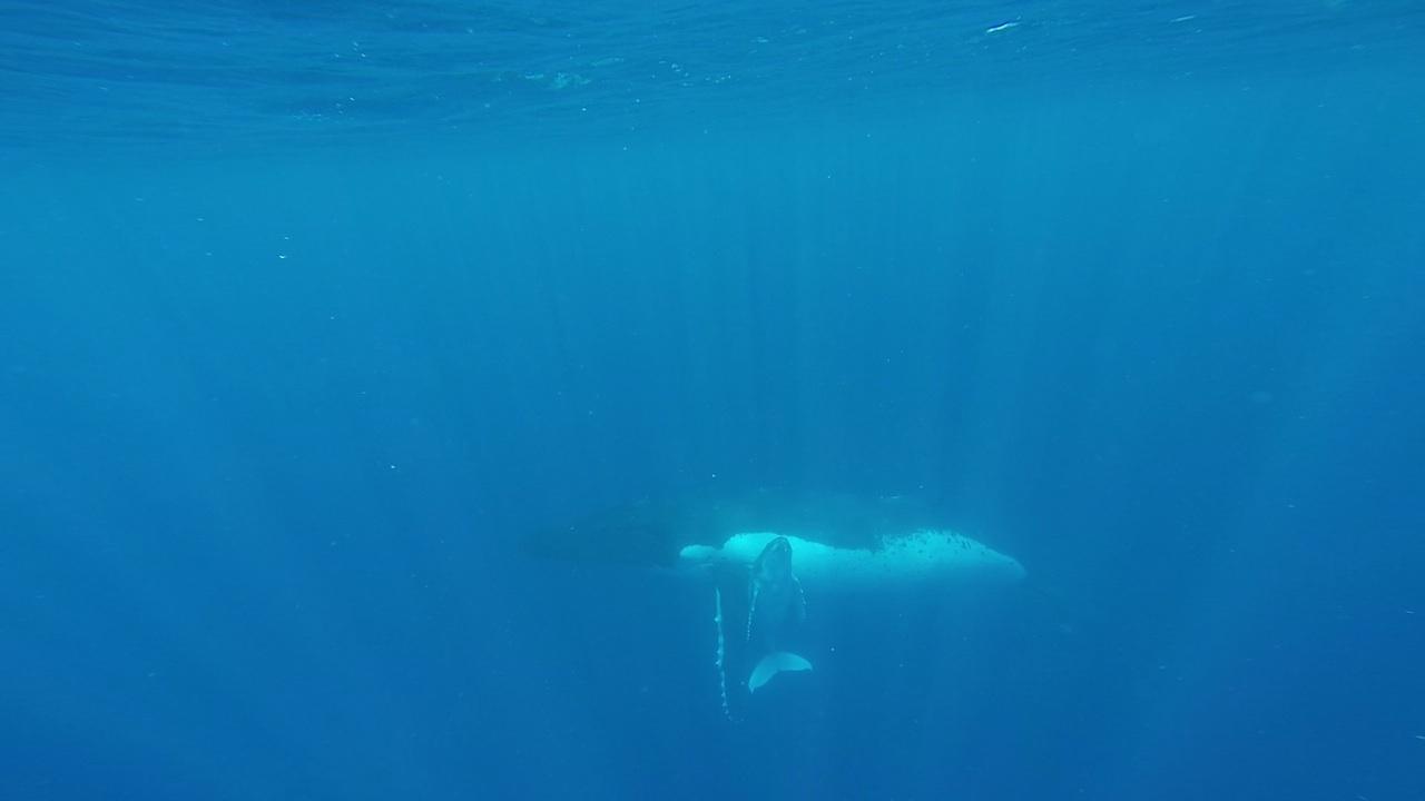 Das Buckelwal Baby kuschelt mit seiner Mutter in Vava'u Tonga