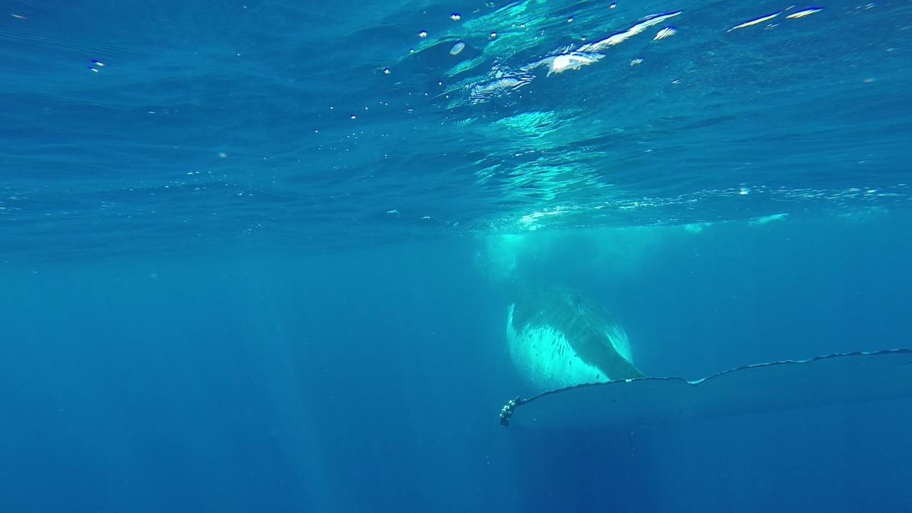 Ganz dicht an der Schwanzflosse eines Buckelwals in Vava'u Tonga