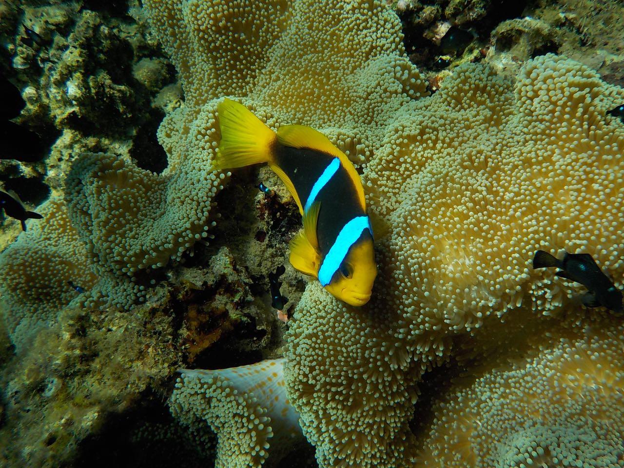Auch Nemo ist am Split Rock in Savusavu