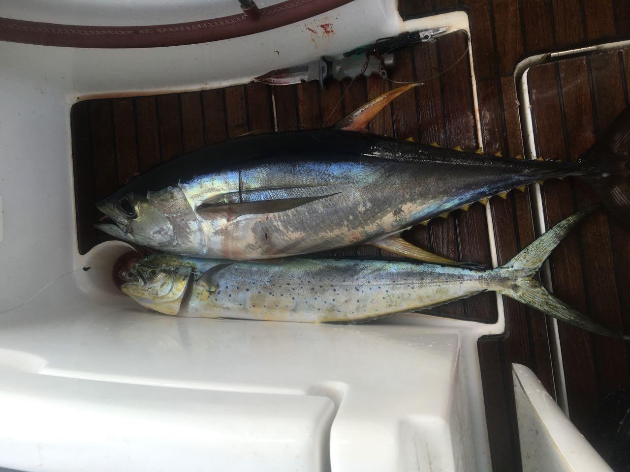 Auf dem Weg nach Koro fangen wir einen kleinen Yellowfin und einen Mahi Mahi