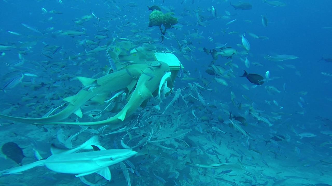 Haie und andere Fische werden beim Shark Dive in Mbengga mit alten Fischresten angelockt.