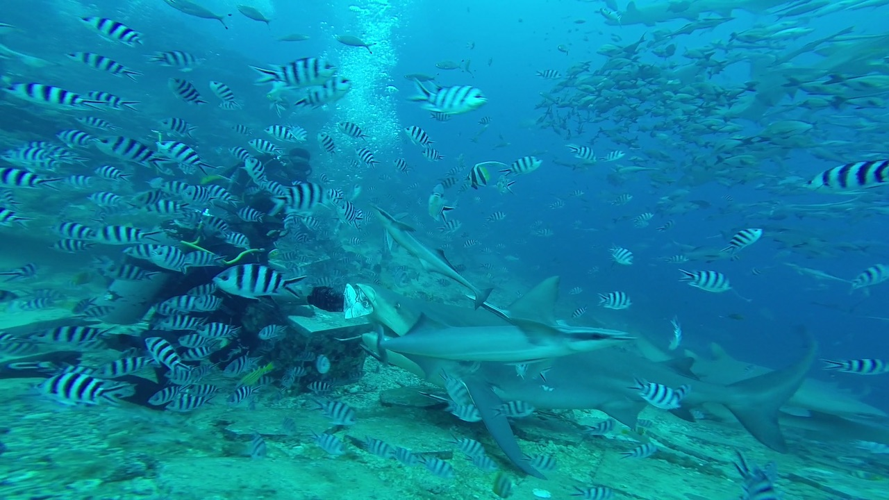 Ein fetter Bull Shark in Mbengga beim Shark Dive