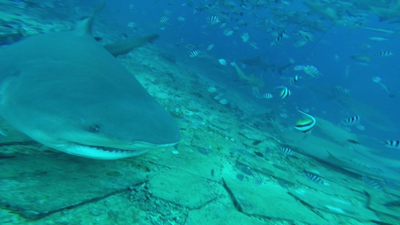 Lecker Fisch, sagt sich dieser fette Bull Shark