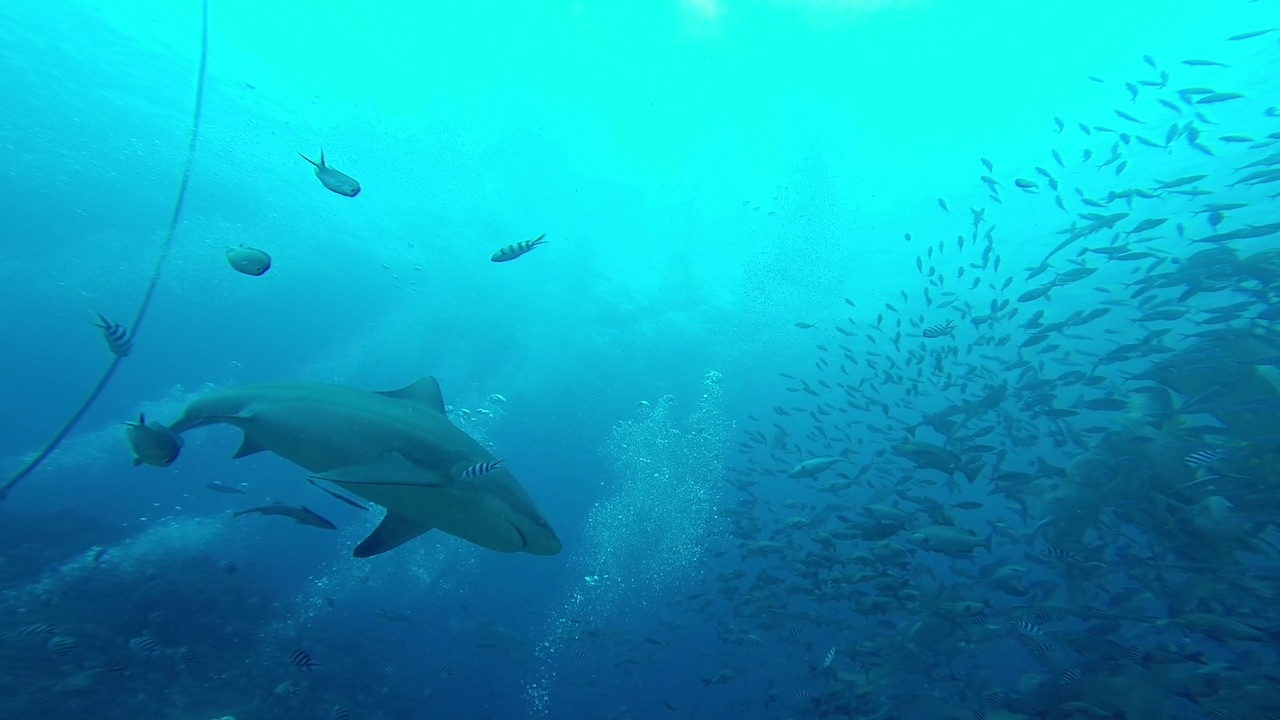 Bull Sharks in Mbengga beim Shark Dive