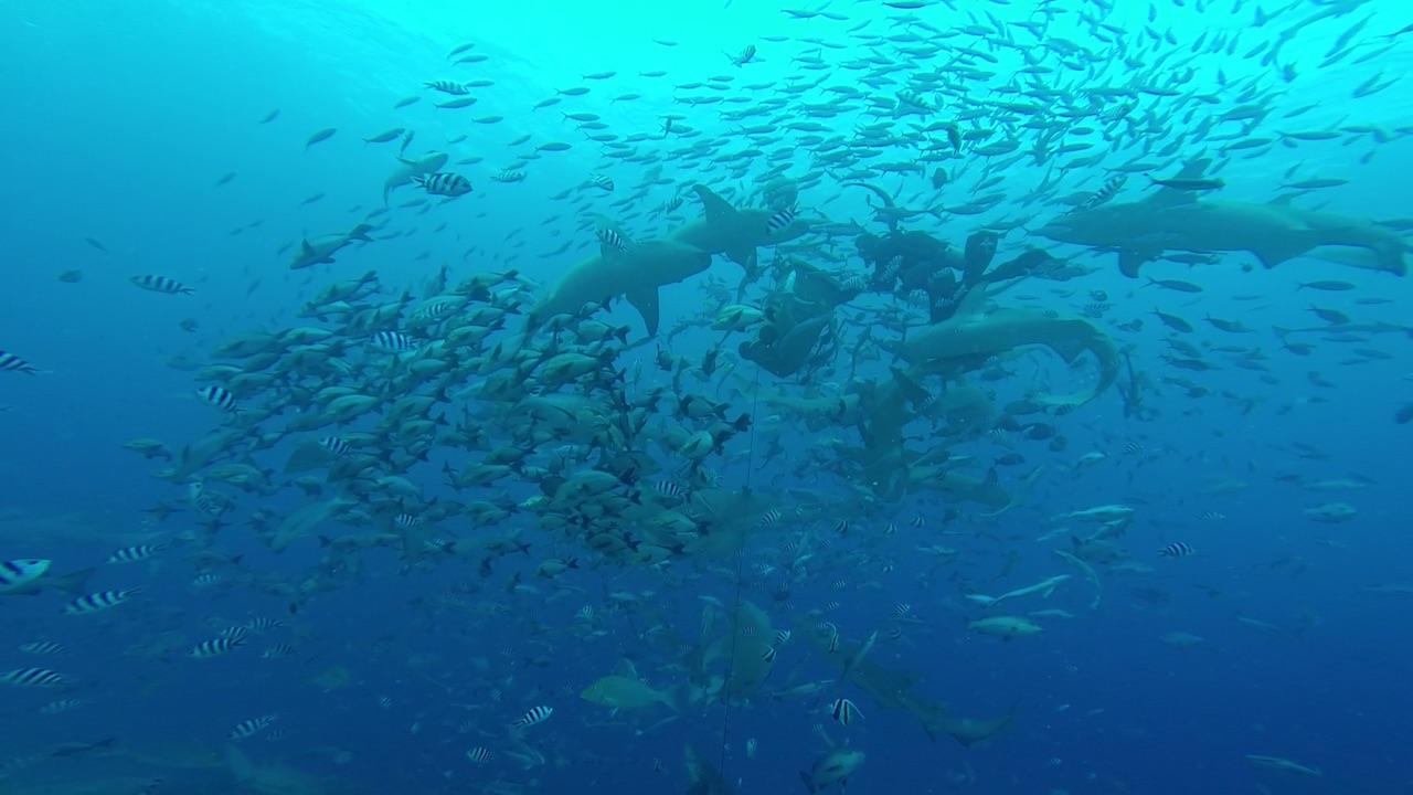 Viele Fische beim Shark Dive in Mbengga