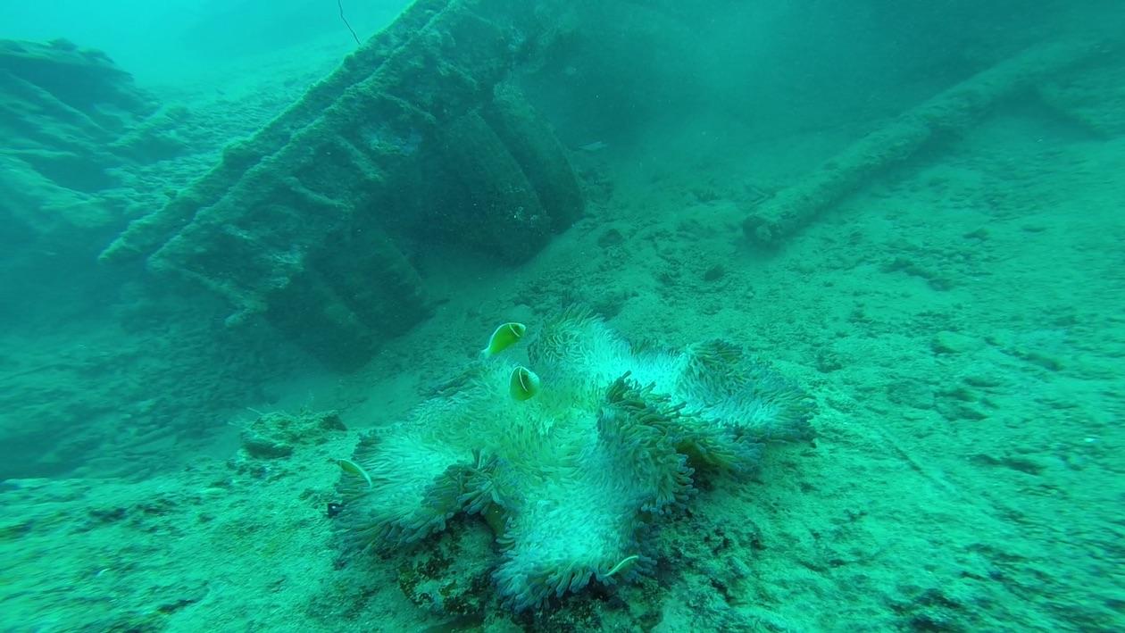 Mitten drin Nemo in einer Anemone
