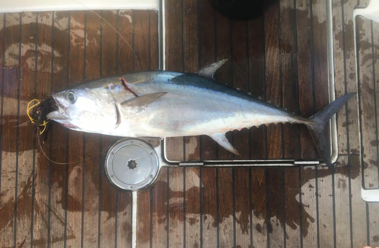 Ein schöner Blackfin Tuna ist die Belohnung für die Durchquerung der Torresstrasse