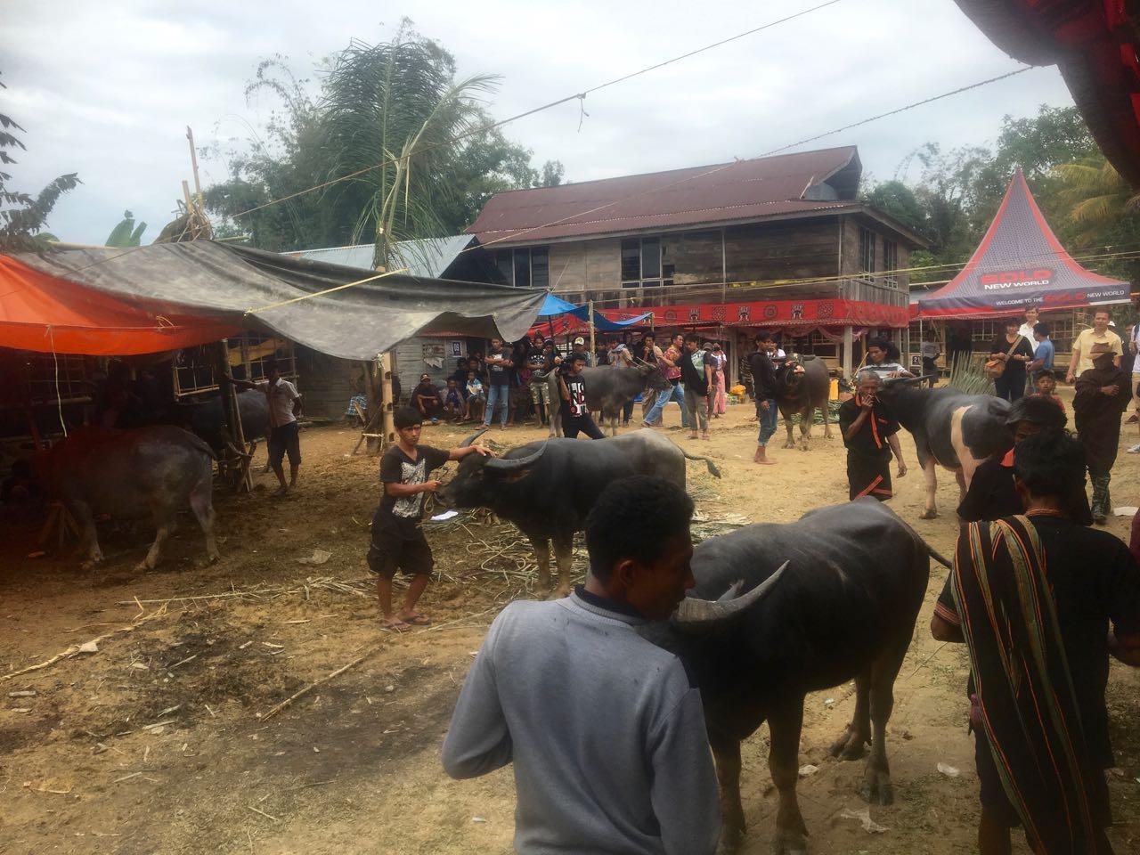 Diese Büffel werden gleich geschlachtet, das Procedere in Tana Toraja ist klar vorgegeben