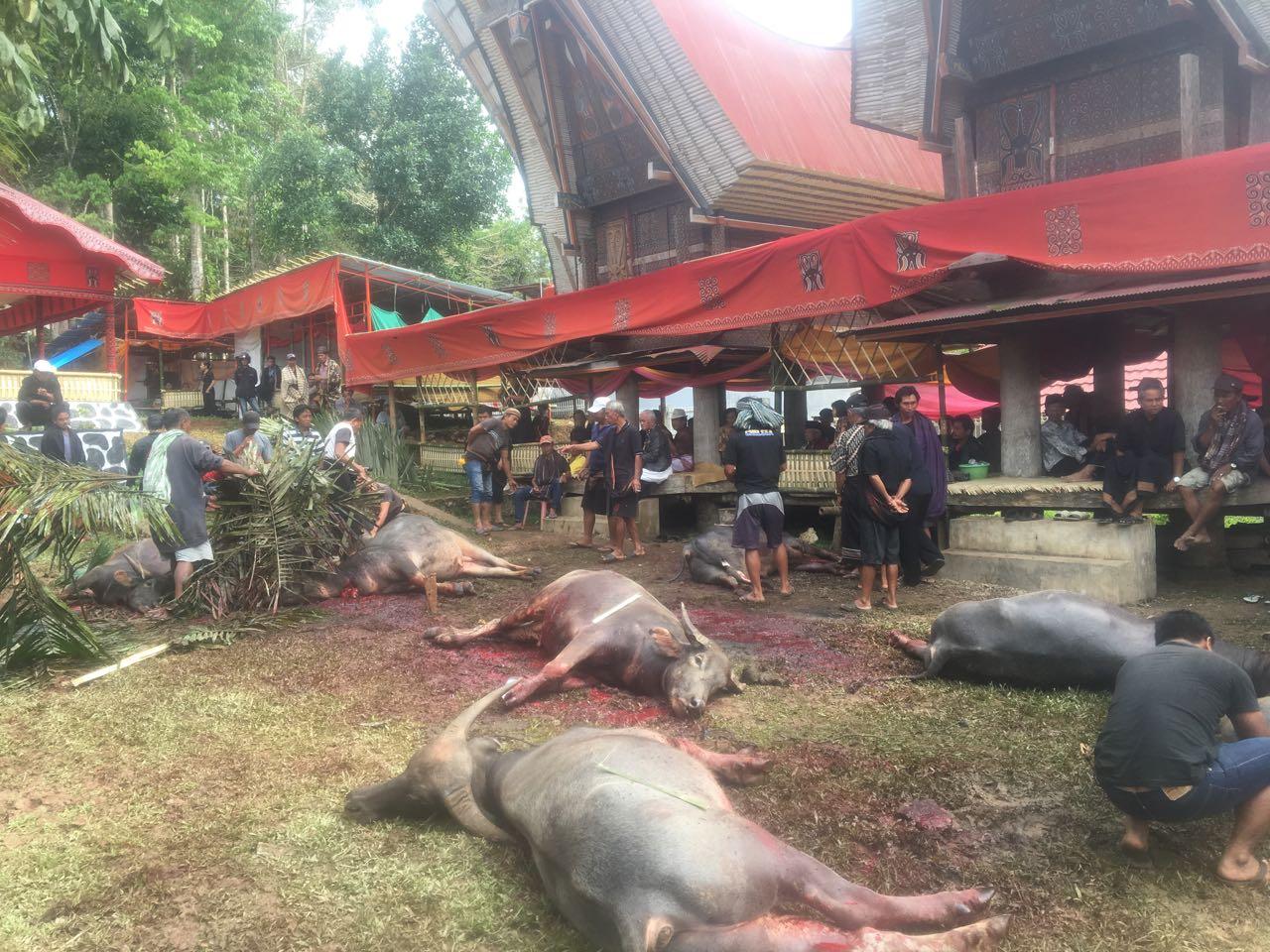 In Tana Toraja werden diese Wasserbüffel werden gleich fachgerecht zerlegt.
