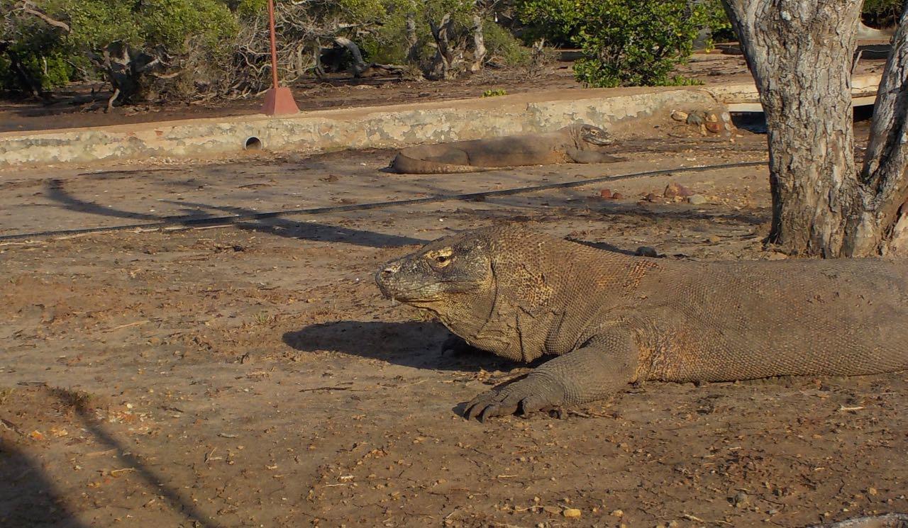 Ein Waran in Rinka Komodo Indonesien