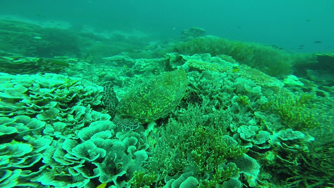 Diese Schildkröte frisst gemütlich in dem Cabbage Patch in Komodo