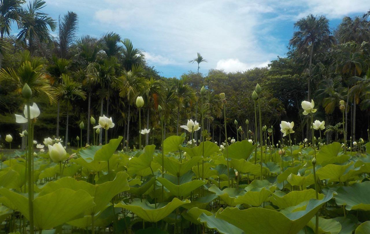 Ein Meer von Seerosen huscht vor Paulas Kamera in Pamplemousse auf Mauritius